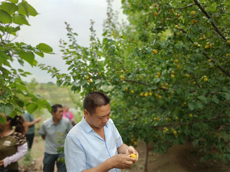 荷兰香蜜杏树苗