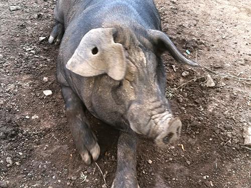 辽宁山黑猪