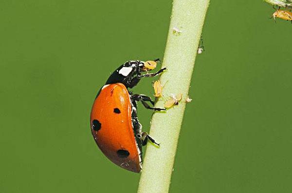 蚜虫爆发太厉害,15种防治蚜虫的方法,你知道多少?