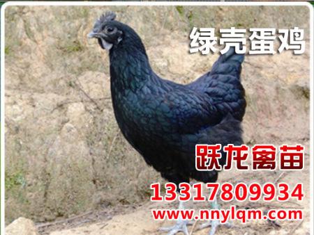 贵州绿壳蛋鸡