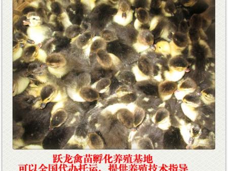 广西鸭苗供应