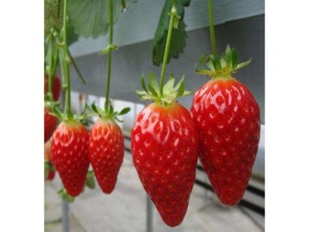 湖南白雪公主草莓苗