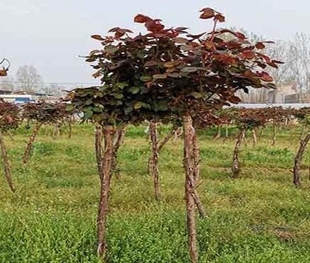 大花月大苗及树状月季发往安徽