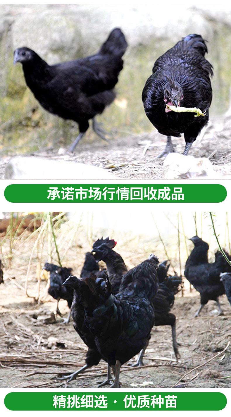 五黑一绿土鸡