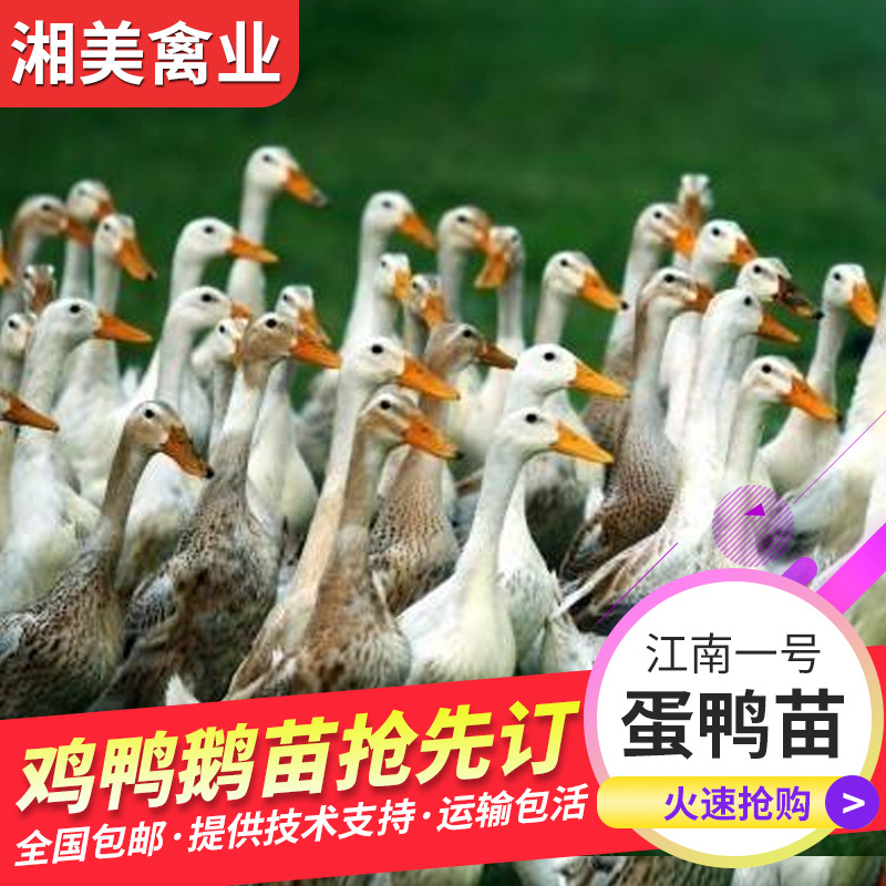 江南一号蛋鸭