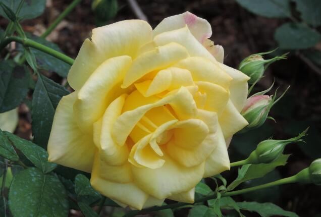 黄和平月季