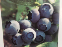 丹东蓝莓苗