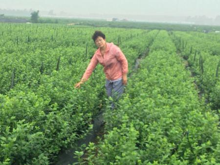山东蓝莓脱毒组培苗