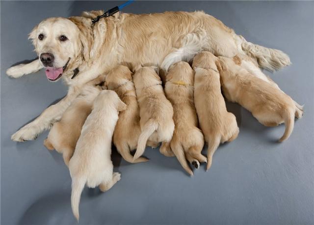 幼犬是喂干粮还是喂湿粮