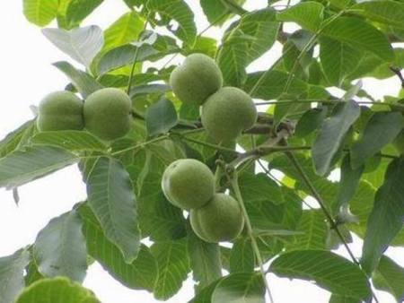 内蒙软枣子猕猴桃苗