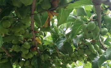 丹东软枣猕猴桃