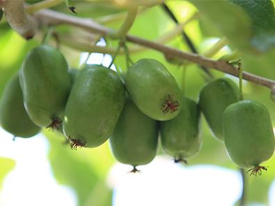辽宁软枣猕猴桃