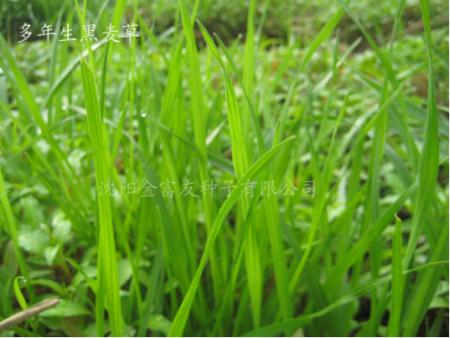 沈阳草坪种子