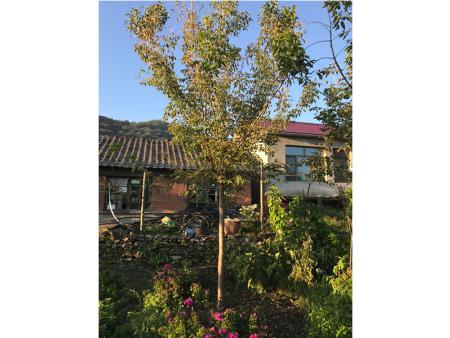 江苏金叶糖槭