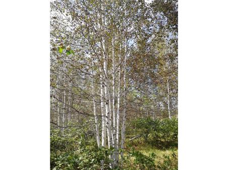 山东丛生白桦