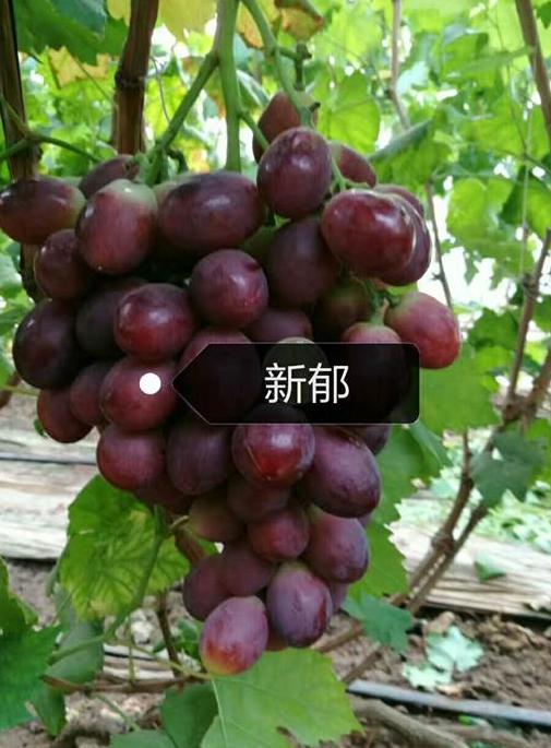 辽宁新郁葡萄苗
