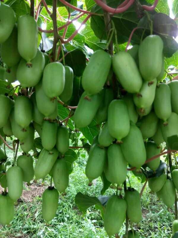 丹东软枣猕猴桃苗
