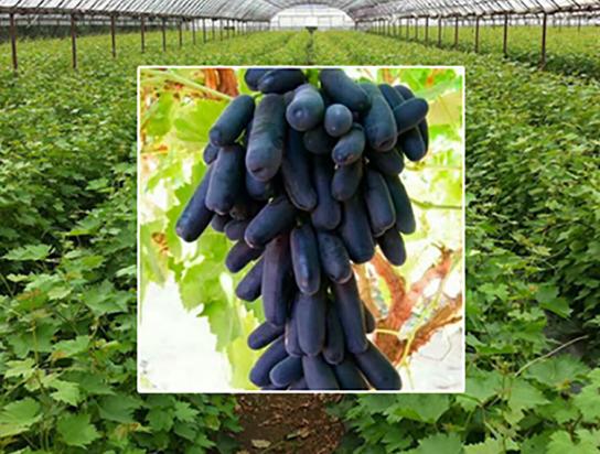 辽宁甜蜜蓝宝石葡萄