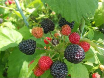 辽宁树莓苗