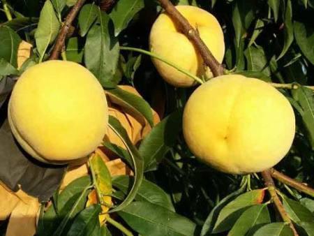 黄金脆桃苗
