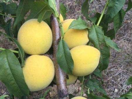 黄金冠桃苗