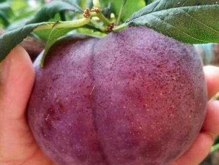 黑皇后油桃